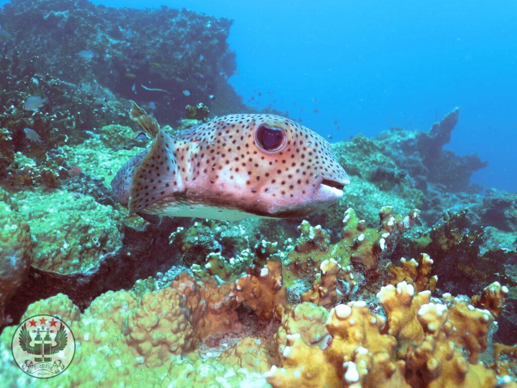 Gepunkteter Igelfisch (Diodon hystrix)