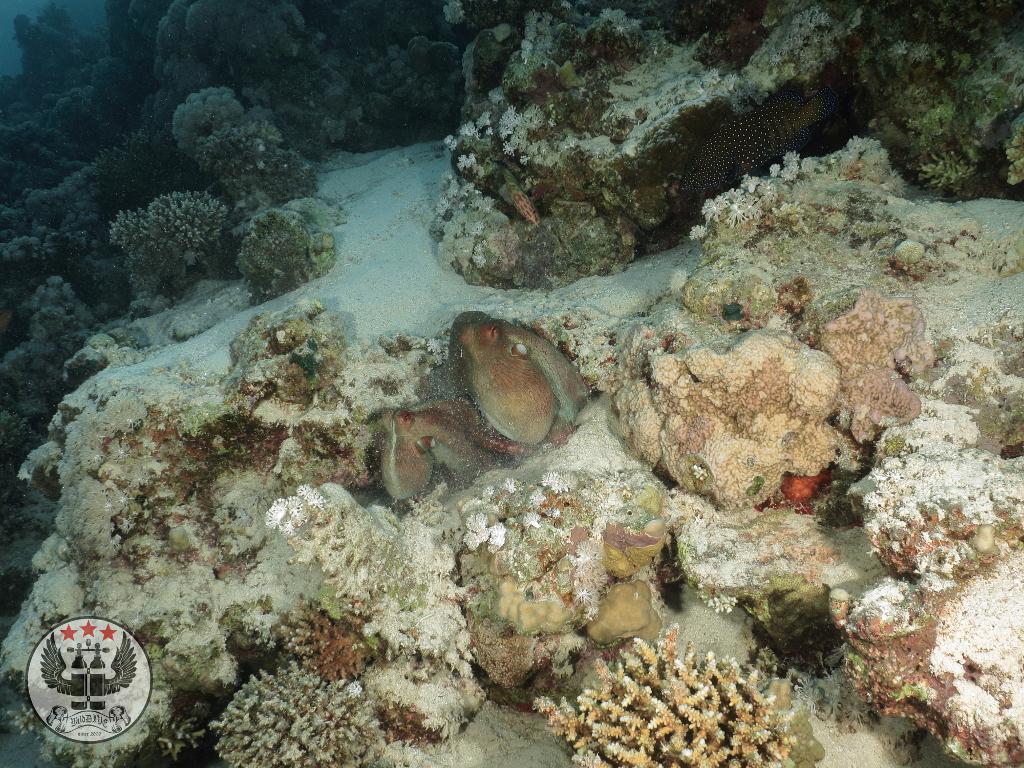 Zwei Oktopusse