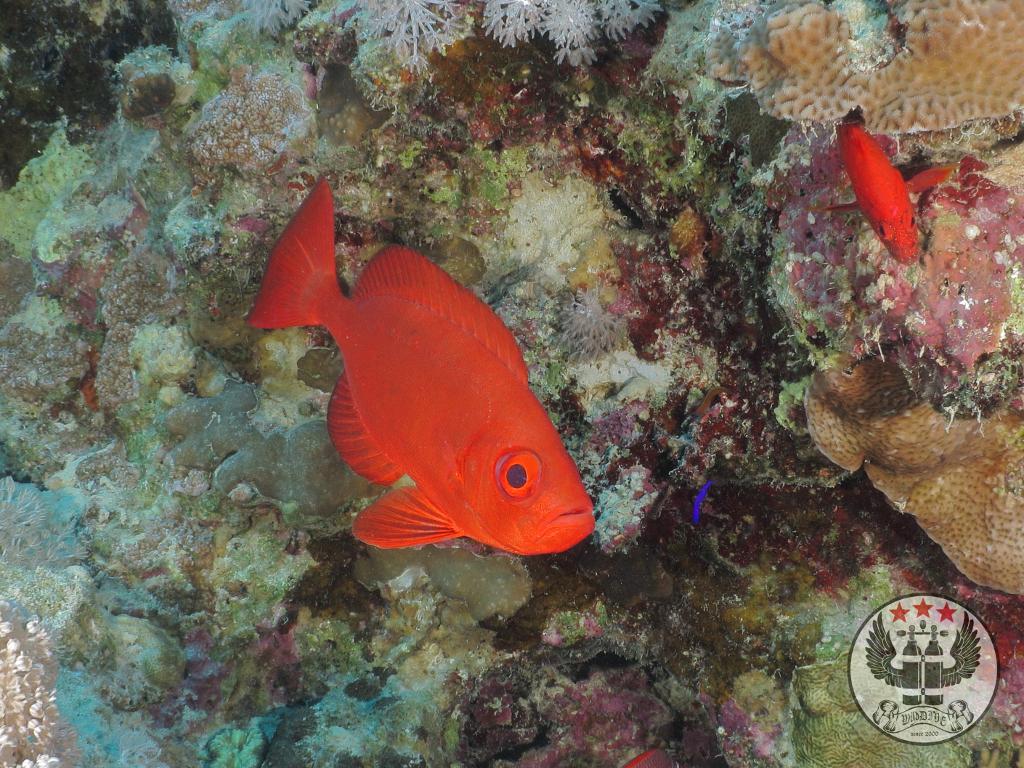 Soldatenfisch (Myripristinae)