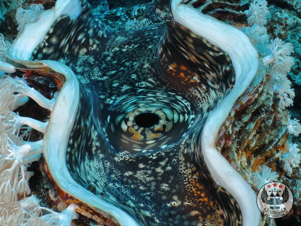 Riesenmuschel (Tridacninae)